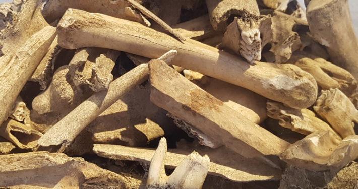 Ausgegrabene Knochen im Museum Burg Linn